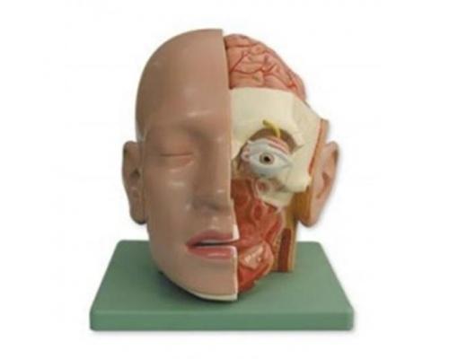 Πρόπλασμα ανθρώπινου κεφαλιού