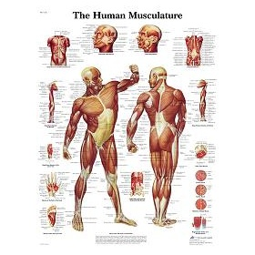 Muscular system poster VR1118UU