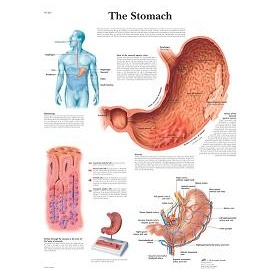Stomach poster