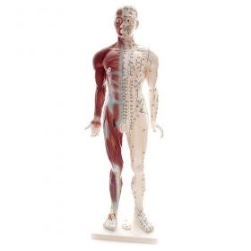 Πρόπλασμα Βελονισμού με μυικό σύστημα