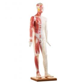 Πρόπλασμα Αντρικού σώματος για Βελονισμό