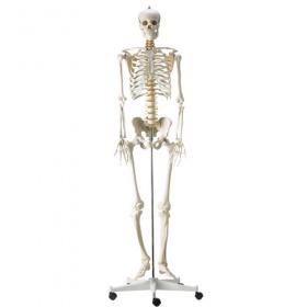 Πρόπλασμα ανθρώπινου σκελετού H495121