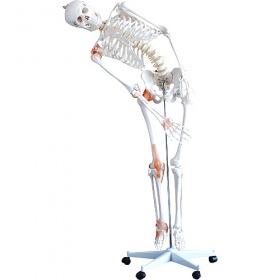 Πρόπλασμα Εύκαμπτου Ανθρώπινου Σκελετού H130985