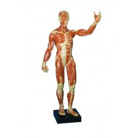Πρόπλασμα Ανθρώπινου Μυικού Συστήματος B90