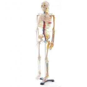 Πρόπλασμα Mini Σκελετού με Φλέβες και Νεύρα H130497