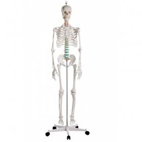 Πρόπλασμα ανθρώπινου σκελετού 'OSCAR'