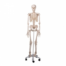 Skeleton Model A10 170CM