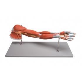 Πρόπλασμα χεριού με μύες 7-τμημάτων M211