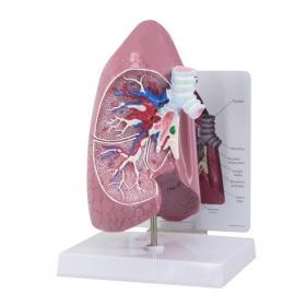 Πρόπλασμα πνεύμονα 101945