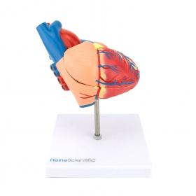 Πρόπλασμα Καρδιάς 139024