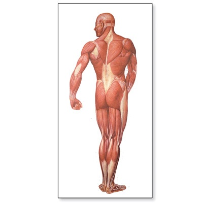 Αφίσα μυϊκού συστήματος V2005M 80 x 200 cm