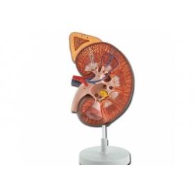Πρόπλασμα ανθρώπινου νεφρού με επινεφρίδιο