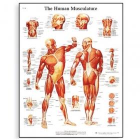 Αφίσα μυϊκού συστήματος