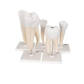 Πρόπλασμα κλασικής σειράς δοντιών D10