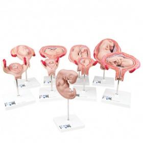 Σετ προπλασμάτων εγκυμοσύνης 9 μοντέλα L11