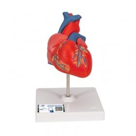 Πρόπλασμα καρδιάς G08