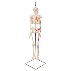Πρόπλασμα ανθρώπινου σκελετού mini με απεικόνιση μυών A18/6