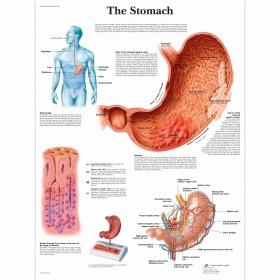 Αφίσα απεικόνισης στομάχου